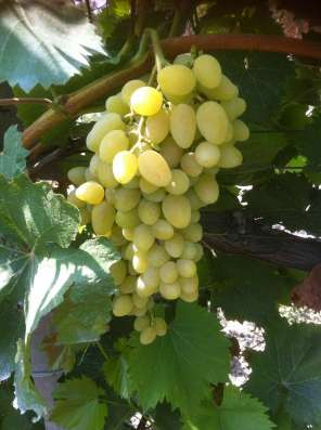 Виноград краснодарский, от 10 тонн Анапа