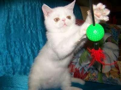 Экзотический котик