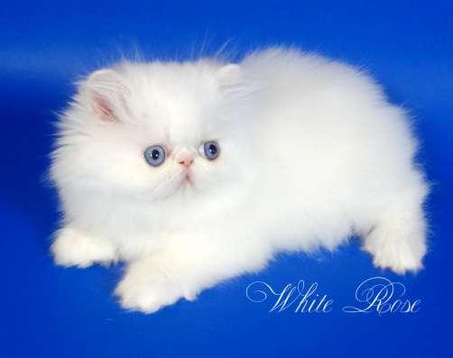Элитный персидский котенок Xmas белого окраса голубоглазый в Москве Фото 3