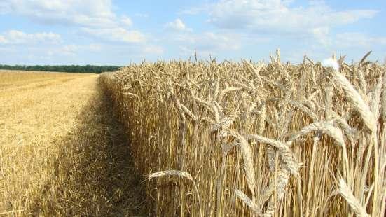 Семена пшеницы Гром, Таня, Баграт, Бригада, Лебедь