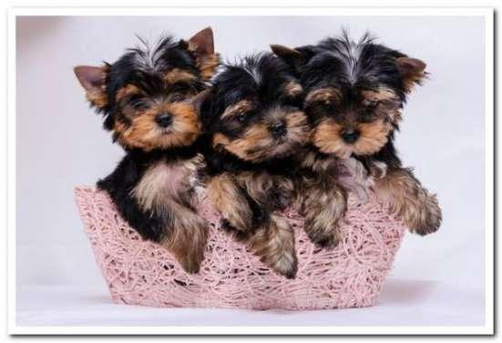 здоровых и игривых щенков Йорка