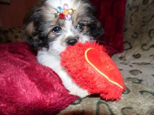 Продаю щенка ши-тцу 2,5 мес в Таганроге Фото 3