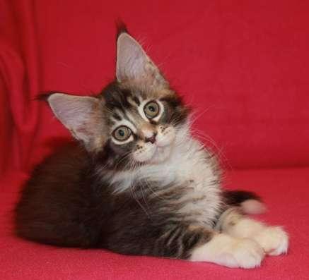 "Котята мейн кун из питомника ""Ludique Esprit"""