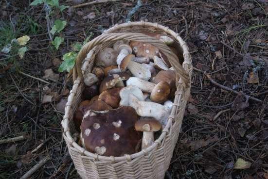 Свежие белые грибы, молодые подосиновики и подберезовики