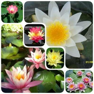 Продаю многолетние растения в Саратове Фото 4