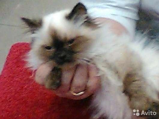 Котята породы Невская маскарадная в Москве Фото 3