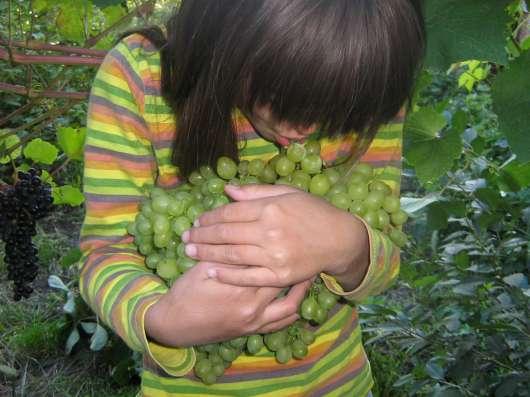Продаются саженцы винограда в Омске Фото 1