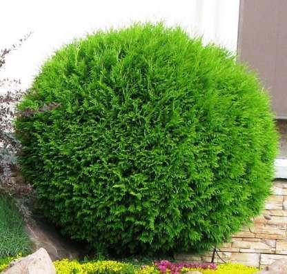 Хвойные растения. Саженцы зкс