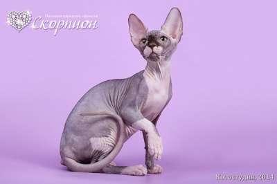 Роскошные из питомника котята сфинкс. в Томске Фото 1
