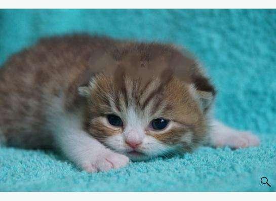 Котята британские в Новокузнецке Фото 1