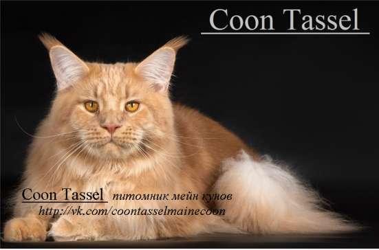 продается котенок мейн кун