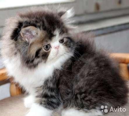 Персидские котята в Москве Фото 4