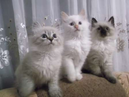 невские маскарадные котята в Москве Фото 1