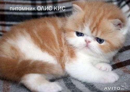 Персидские котята в Москве Фото 3