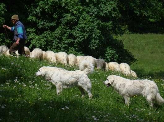 Щенки польской подгалянской овчарки