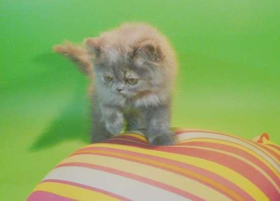 Клубный персидский котенок в Москве Фото 3