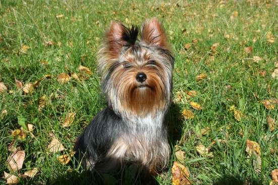 йоркширского терьера щенок подросток, девочка