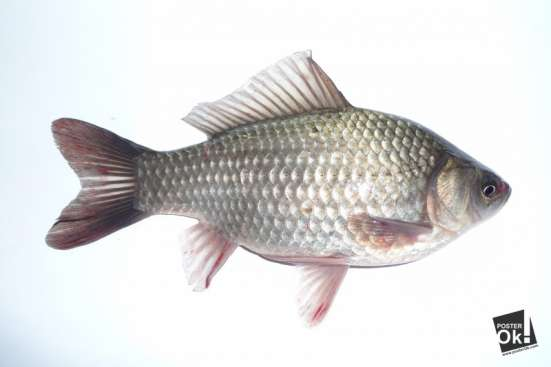 живая рыба в Екатеринбурге Фото 2