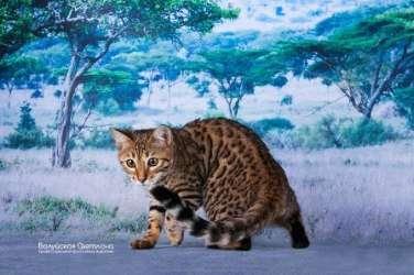 Продаются котята Саванна в Санкт-Петербурге Фото 1