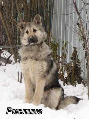 Собаки-гиганты, охранники для дома или предприятия в Екатеринбурге Фото 5