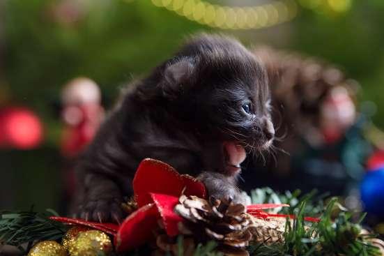 Прелестные котята американского кёрла. в Волгограде Фото 5