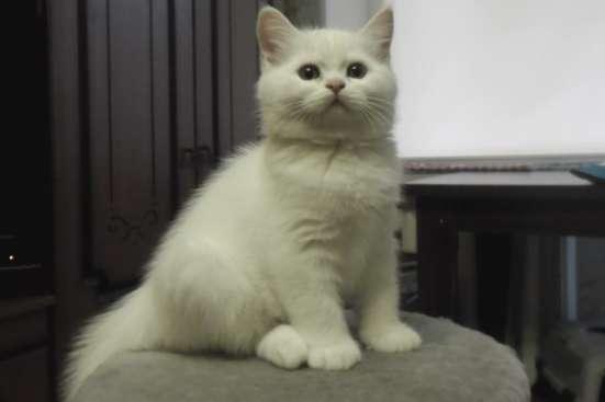 Котик белоснежный породистый.