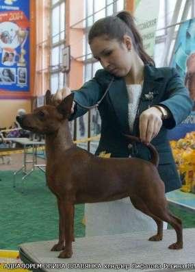 король миниатюрных пород-цвергпинчер! щенки,продаются в Улан-Удэ Фото 3