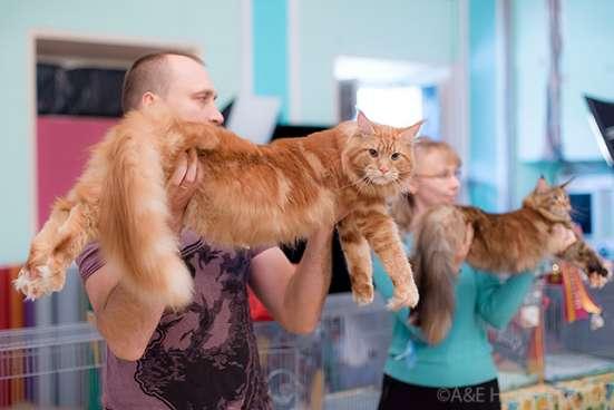 Кот мейн-кун открыт для вязок