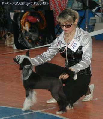 Китайской хохлатой собачки щенки,для выставок и для души. в г. Самара Фото 2