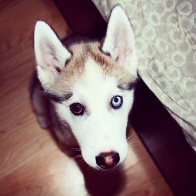 Собака Хаски в г. Шымкент Фото 1
