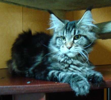 Мейн куны! Котята породы Мейн кун! Мэйн кун нежный гигант в в Москве Фото 1