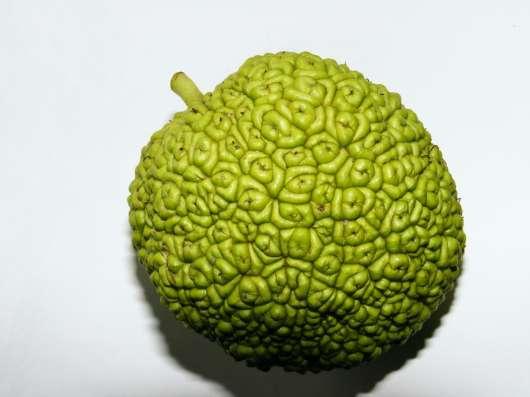 Продается Адамово яблоко, Маклюра.