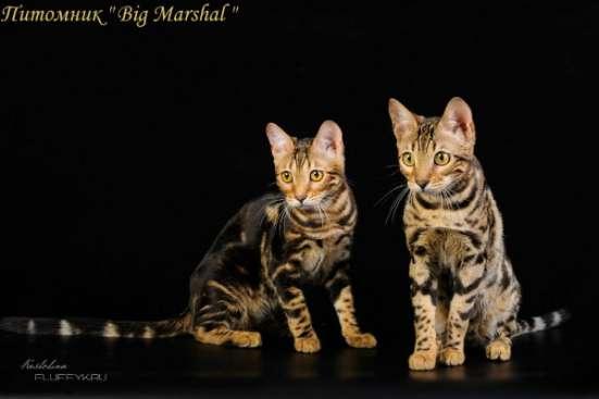 Бенгальские котята в Москве Фото 5