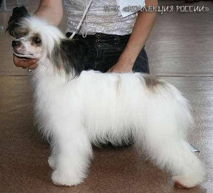 Китайской хохлатой собачки щенки,для выставок и для души. в г. Самара Фото 1