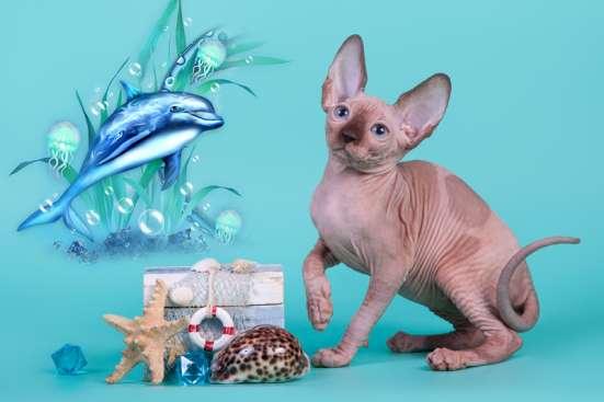 Гуманоид? Котёнок сфинкс! в г. Каракас Фото 2