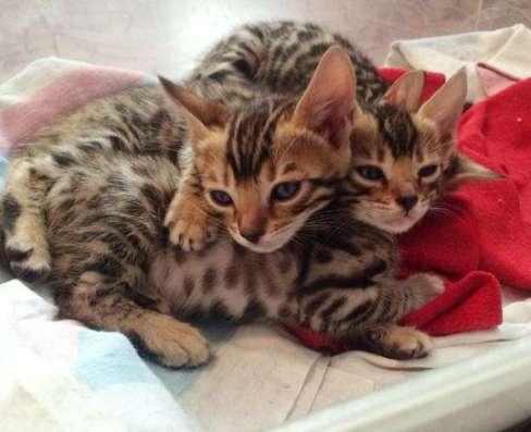 Бенгальские котята в Москве Фото 2