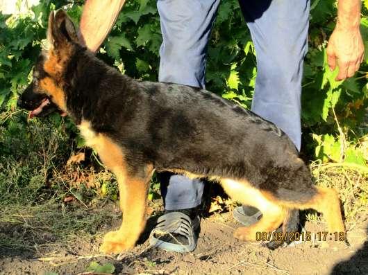 щенки немецкой овчарки с родословной