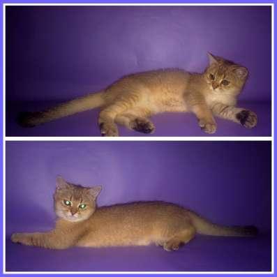 Золотые британские котята