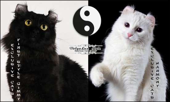 Прелестные котята американского кёрла. в Волгограде Фото 1