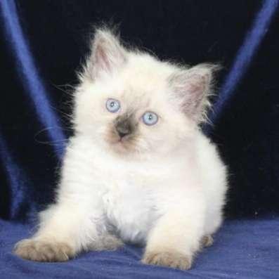 котенок невский маскарадный