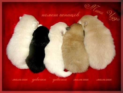 Продаю щенков, чихуахуа и в Ярославле Фото 3