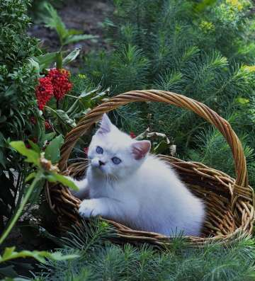 Продажа британских котят драгоценного окраса в Томске Фото 2