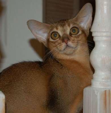 Абиссинские котята - обаятельнейшие хулиганы