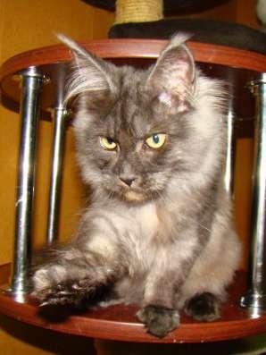 Мейн куны! Котята породы Мейн кун! Мэйн кун нежный гигант в в Москве Фото 2
