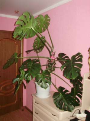 комнатные цветы в Ставрополе Фото 1