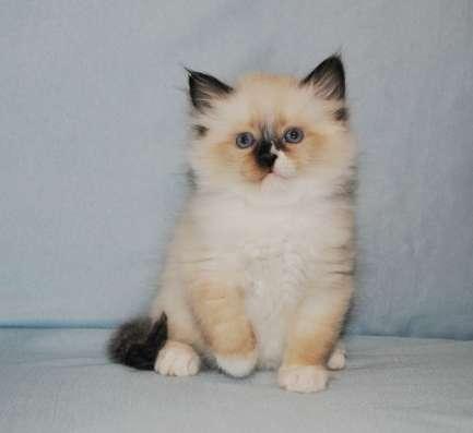 Невские маскарадные котята в ваш дом
