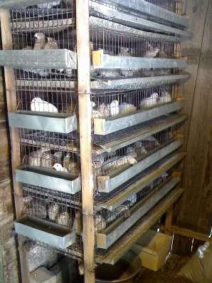Продам перепелов в Магнитогорске Фото 5
