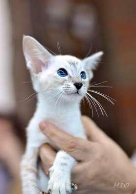 продажа сиамских котят в Казани Фото 1