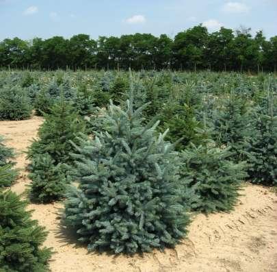 Саженцы хвойных и лиственных растений оптом из питомника