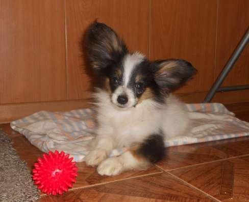 Продаёся щенок папийона в Архангельске Фото 3